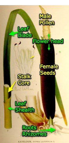 Cattail - wild edible