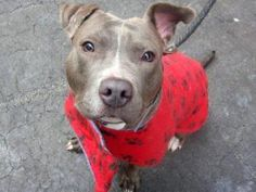 Sandy is an adoptable Pit Bull Terrier Dog in Greenfield, NH. Sandy 2 year old female rescued from NYACC A volunteer writes: Sandy is a tiny little girl, a little mouse in a slate gray well taken care...