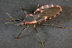 Doctors describe it as a silent killer. The effects of being bitten by the 'kissing bug'.  A person could be infected for years and not know until more serious symptoms set in.