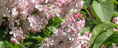 Common Lilac, French Lilac 'Lucie Baltet'