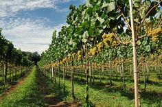 Roteiro de vinhos no Rio Grande do Sul