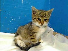 Adorable cats and kittens in Manhatttan that urgently need adopted or rescued