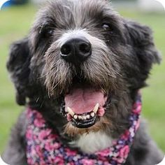 Duchess - Adult, Irish Wolfhound Mix, Medium (26-60 lbs). Duchess is a refined, prim, and proper lady who would like just to hang out with her family. She walks great on a leash and would benefit from walks. she is microchipped, spayed, and up to date on vaccines. adoption fee is $175; Some pets are in foster care. If you are interested, contact the shelter at 618-282-7387 to arrange a meeting. Helping Strays-Humane Society of Monroe County, IL