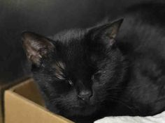 LADY -  A1037309 - - Manhattan  ***TO BE DESTROYED 05/28/15*** LOVELY LADY WAS DUMPED BY HER OWNER AFTER 10 YEARS BECAUSE HER OWNER BROUGHT A NEW CAT INTO THE HOUSEHOLD AND DIDN'T ALLOW LADY TIME TO ADJUST!! LADY was given to her owner as a kitten for a gift. She lived with the family for 10 long years when suddenly another new cat arrives!! A male cat! So what happens? LADY is not happy so she shows her distaste by not using her litterbox. THIS IS CAT BEHAVIOR 101