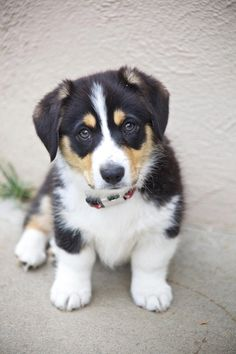 Didn't know Corgi's could have floppy ears, that would be perfect!