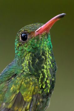 Amazilia Colirrufo, Rufous-tailed Hummingbird (Amazilia tzacatl) 54 by jjarango, via Flickr