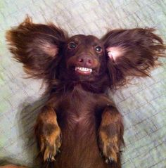 Weenie Smile:) Cute Puppies, Cute Dogs, Dogs And Puppies, Funny Dogs, Funny Animals, Cute Animals, I Love Dogs, Puppy Love, Weenie Dogs