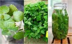 The list of reasons to love lemon balm is practically endless. After seeing some of lemon balm& benefits, you& want to start growing some in your garden!