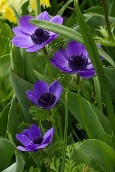 Beautiful Purple Anemones are from the Ranunculas family. It is a Perennial flowering plant.