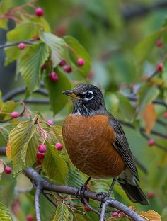 Robin and crabapple blossoms