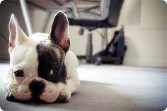 Bulldog Francês QUERO UM...