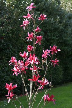 Burgundy Star™ magnolia is a narrow, upright tree and perfect for small-space gardens. Landscape Trees, Garden Trees, Plants, Garden Shrubs, Magnolia Trees, Small Space Gardening, Shrubs, Easy Garden, Flowering Trees