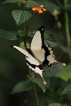 Butterfly Kisses, Butterfly Flowers, Butterfly Wings, White Butterfly, Madame Butterfly, Flying Flowers, Butterflies Flying, Beautiful Bugs, Beautiful Butterflies