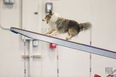 The Loretta Mueller agility seminar is this weekend. Auditors welcome! Click to sign up.