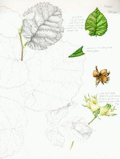 Lizzie Harper's botanical sketchbook study of Hazel
