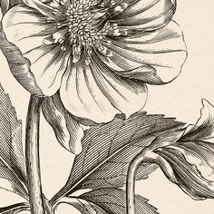 Printable digital christmas rose (helleborus niger) big sized image. You will receive 300 dpi resolution 2 JPG images in approximately A3