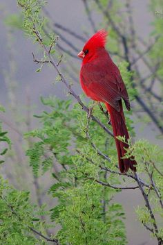 Male Cardinal; only the males are red