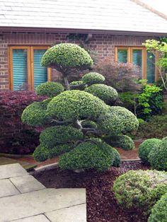 Niwaki: Japanese Holly Grown In Japan For 50 Years. Now in Sussex. Japanese Garden. Ogród japoński. Niwaki.