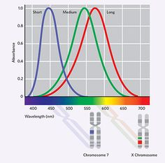 Color vision as we know it resulted from one fortuitous genetic event after another | The Scientist Magazine®