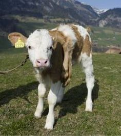Albino Hereford :)