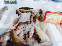Persico fish from the Trasimeno Lake