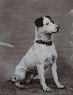 Antique Cabinet Card photo Rat Terrier Jack Russell dog