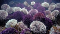 Ocean acidification could boost shell growth in snails and sea urchins