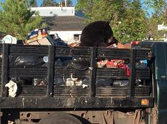 By Claire Cudahy A Lake Tahoe black bear hit the jackpot Monday morning in the form of an unattended truck filled with garbage. The truck is owned by Tahoe Keys Resort, which operates vacation rentals, and was parked in its lot off  Tahoe Keys Boulevard. Resident Ken Weitzman saw the bear...  #mountaindemocrat #News #A9, #Printed