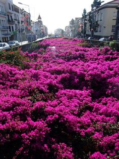 Madiera, Portugal - Bougainvillea in Funchal (the capital).