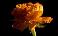 Golden Peony low-key :Flower macro by Greg Kirkpatrick on 500px