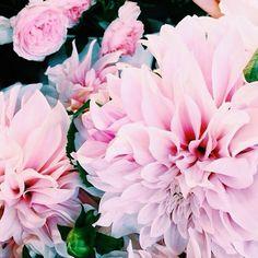 © Avril Louise #flowers #fleurs #garden #paris #autunm #dahlia #dahlias