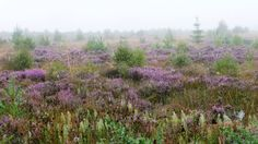 Culloden Moor photographed by  ‎Julia Thompson‎