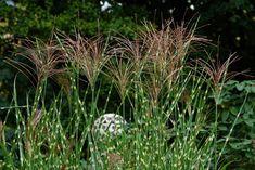 4 GRAMINÉES HAUTES magnifiques au jardin ! 🌾 Miscanthus Sinensis Gracillimus, The Clumps, Common Names, Ornamental Grasses, Plantation, Flower Seeds, Zebras, Cut Flowers, Planting Flowers