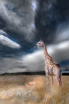 Giraffes are my favorite animal ever and this picture is absolutely stunning. Amazing photography <3