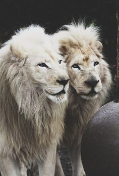 I love lions. I've been to a hotel with a lion sanctuary and they are very fun animals too watch love to be playful, they're like big kittens...really big kittens...with even bigger teeth