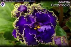 """EverSpecial """"EverFloris"""" Space Violets were developed from 20,000 seeds sent into orbit on board a NASA satellite from 1984 through 1990. They were shielded from temperature variations but not from space radiation.  After the capsule was retrieved we planted the space-exposed seeds and found a number of unique mutations, these include continuous blooming, more flower stems per leaf, larger growth and wavy/ruffled foliage."""