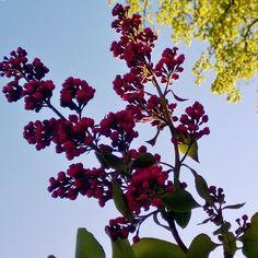 #kesä #työmatka #syreeni #flowers #flowerstagram #outdoorlife #nature #citywalk #plants #morning #summer #bluesky