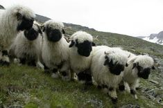 Valais Blacknose sheep | Valais Blacknose Sheep on the Summer Grazing Pastures