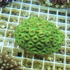 Goniastrea El Pez Payaso LPS coral acuario marino acuariofilia