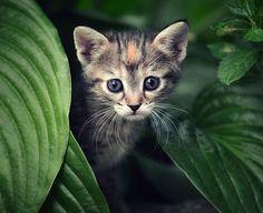 The wild cat.
