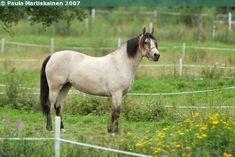 Estonian Native mare Meloni