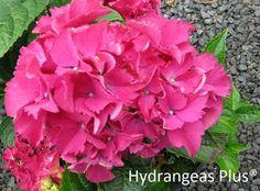 Hydrangea Macrophylla Bottstein