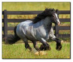 Gypsy Vanner Stallion Pompeii