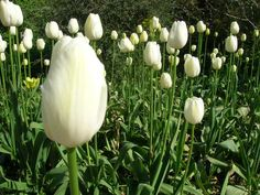 White tulips in a small village in Scotland, photographed in May 2009.
