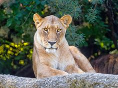 Pepe - Google+ - Lioness seriously looking at me by Tambako the Jaguar