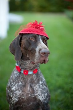 fashionista #GermanShorthairedPointer #dog