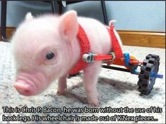 9. This cute little guy was born without the use of his hind legs, so he got a special-made wheelchair.