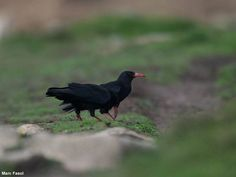 Photographie de Marc Fasol : Craves à bec rouge (Pyrrhocorax pyrrhocorax) sur l'île d'Ouessant (Finistère) en octobre 2012. #ornithologie   #oiseaux   #nature