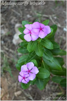 Nithyakalyani plant also popularly called Sadabahar in Hindi has amazing health benefits and is very famous in India. Madagascar periwinkle is it's botanical name. It is a very common garden plant that you will find in… Ayurvedic Plants, Herbal Plants, Medicinal Plants, Periwinkle Plant, Periwinkle Flowers, Beautiful Flowers, Edible Plants, Edible Garden, Common Garden Plants