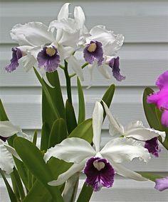 T-4747 L. purpurata var. schusteriana.  Cattleya.  Purchased from Carmela Orchids 2/16.